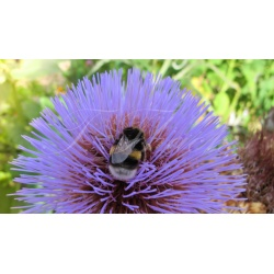 A bee on  milk Thistles